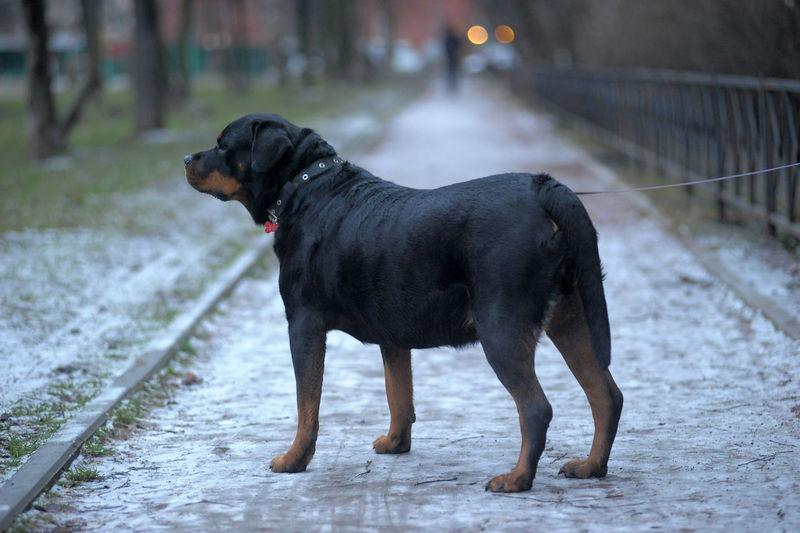 Black dog standing on footpath