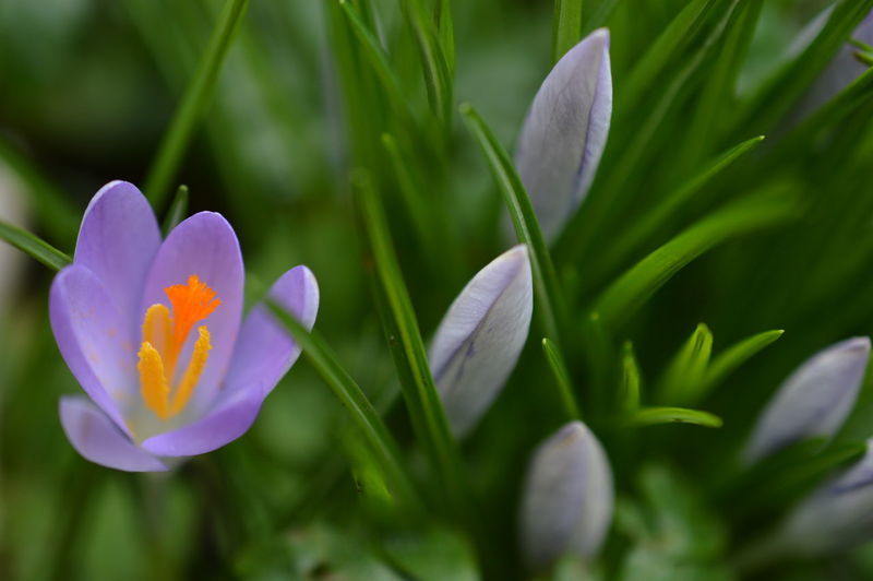 Close-up of purple crocus blooming on field