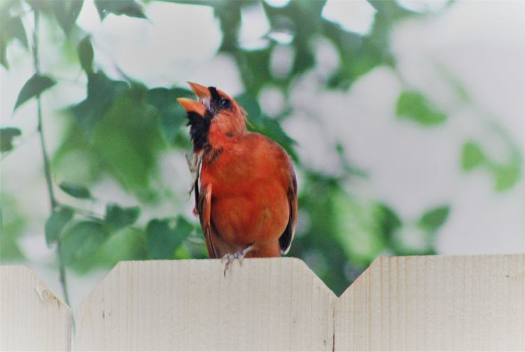 Animal Themes Animal Wildlife Animals In The Wild Bird Close-up Day Focus On Foreground Nature No People One Animal Outdoors Perching Red Redbird Wood - Material