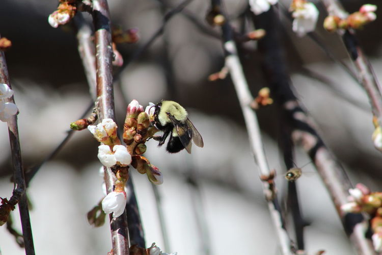 Close-up of bumblebee on white buds