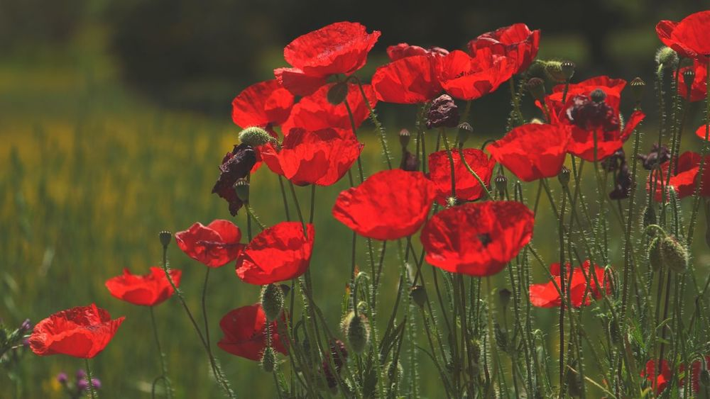 Flower Red Flower Head Nature Plant Beauty In Nature Petal Fragility No People Wildflower Poppy Green Vs Red