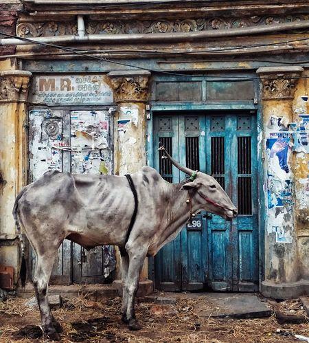 The Week on EyeEm EyeEm EyeEmNewHere EyeEm Gallery India Oneplus Street Streetphotography Cow Working Animal Sad Old Buildings Chennai Retro Cows Of Eyeem Animals In Captivity Animal Photography Architecture Focus On The Story