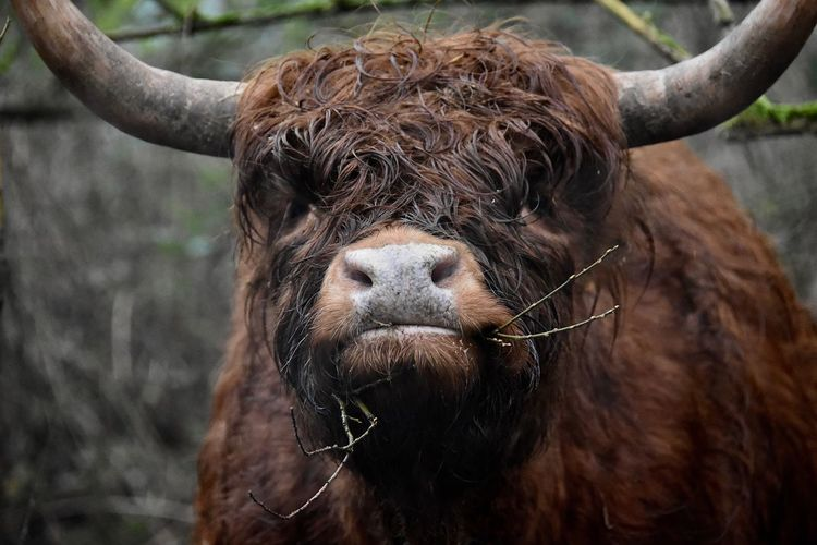 Scottish Highlander Grumpy Face Animals In The Wild Nature Photography Natural Beauty Close-up