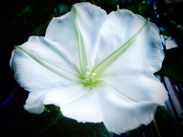 My Moonflower