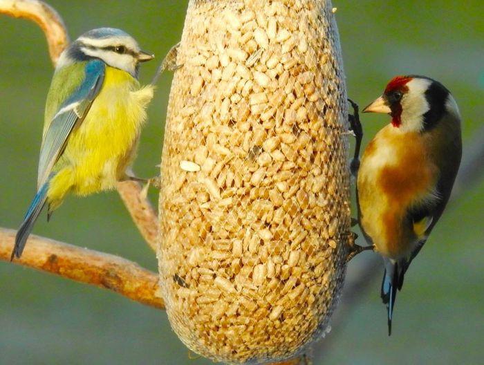 Animal Themes Animal Wildlife Animals In The Wild Bird Bluetit Day Feeding  Food Nature No People One Animal Outdoors Perching Stiglic Tengelic Yellow Yellow Bird Yellow Bird In Green Background