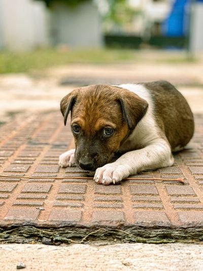 Portrait of dog lying on footpath