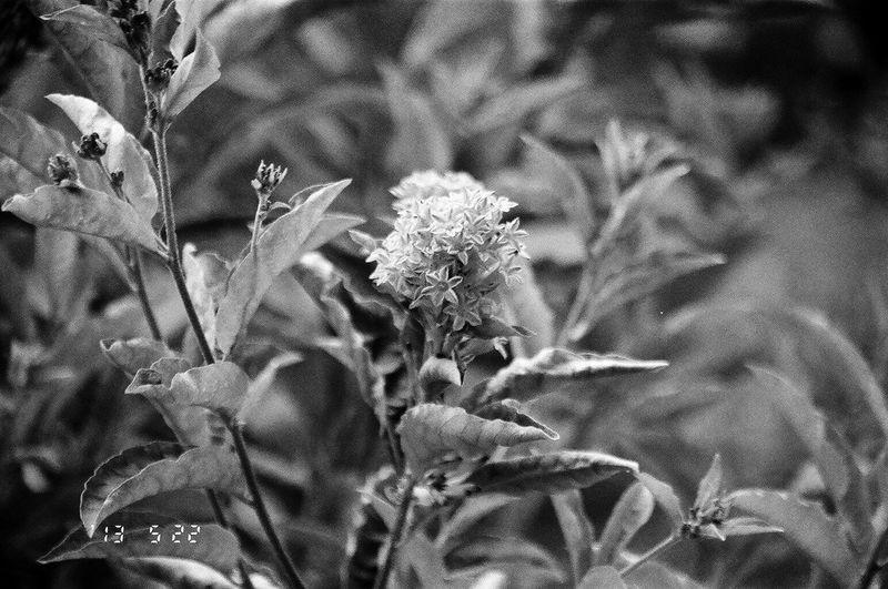 Olympus OM-1 Flower Plant Outdoors Koduckgirl 35mm Camera Blknwht 400tmax