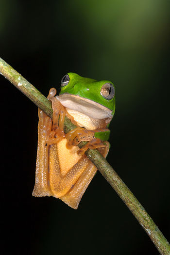 Close-Up Of Frog On Plant Against Black Background