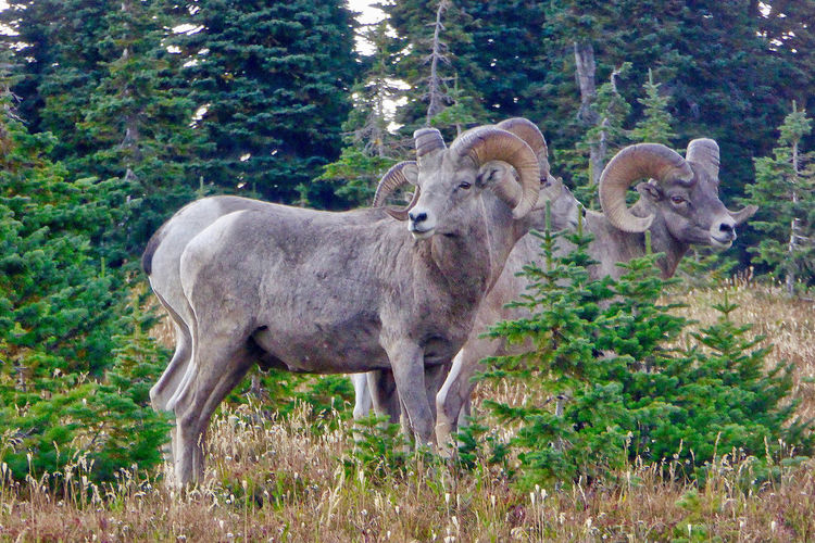 Bighorn sheep in the Glacier National Park in the USA. Bighorn Sheep Kalispell Montana Animals Animals In The Wild Day Forest Glacier National Park Grass Mammal Nature No People Outdoors Pine Trees Standing Us