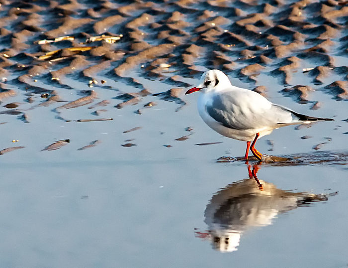Little Gull in winter plumage Animal Themes Animal Wildlife Animals In The Wild Bird Birds Day Lake Nature No People One Animal Outdoors Perching Reflection Seabird Wader Wading Water