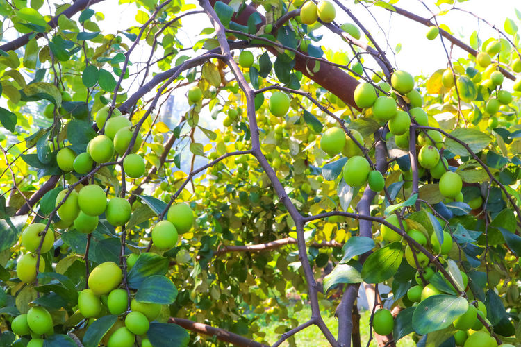 Backgrounds Beauty In Nature Branch Close-up Day Food Food And Drink Freshness Fruit Green Color Growth Healthy Eating Leaf Low Angle View Monkey Apple Nature No People Outdoors Tree