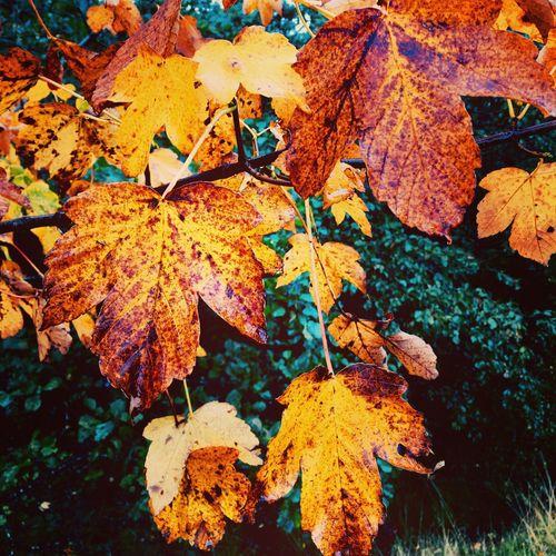 Autumn sycamore