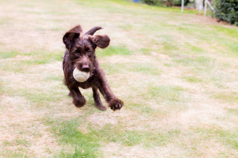 Dog running while carrying ball in mouth on field