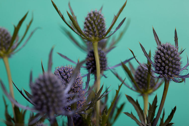 Macro shot of thistle heads with a turquoise background Beauty In Nature Close-up Flower Flower Head Nature No People Plant Selective Focus Thistle