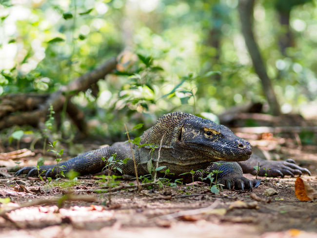 Komodo Island, Indonesia Animal Animal Scale Animal Themes Animal Wildlife Animals In The Wild Close-up Day Field Focus On Foreground Iguana Komodo Land Lizard Nature No People One Animal Outdoors Plant Reptile Selective Focus Tree Vertebrate