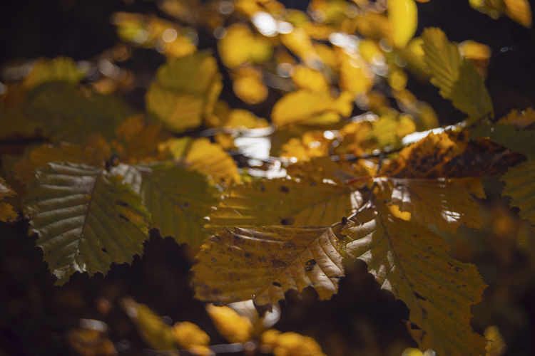 Leaf Plant Part Selective Focus Autumn Plant Nature Change Close-up Beauty In Nature Yellow Day No People Growth Leaves Water Outdoors Tranquility Vulnerability  Tree Autumn Collection Maple Leaf Fall Belarus Nature Perspectives on Nature Light And Shadow