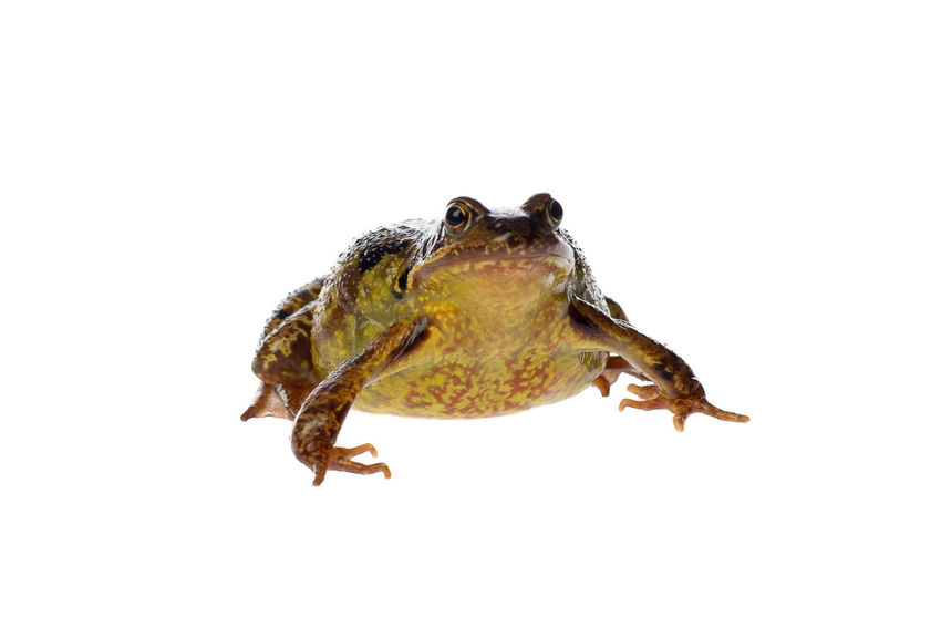 Big brown frog, Rana temporaria, isolated on a white background Endangered Species Frog Animal Themes Animal Wildlife Animals In The Wild Brown Frog Close-up Copy Space Day Nature No People One Animal Outdoors Reptile Studio Shoot Studio Shot Water White Background