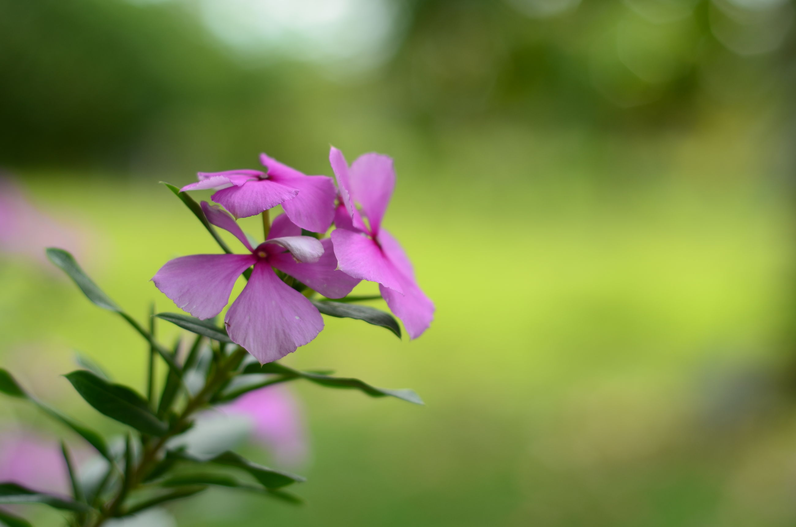 flower, freshness, petal, fragility, growth, focus on foreground, beauty in nature, flower head, close-up, nature, blooming, purple, pink color, plant, selective focus, stem, in bloom, bud, blossom, day