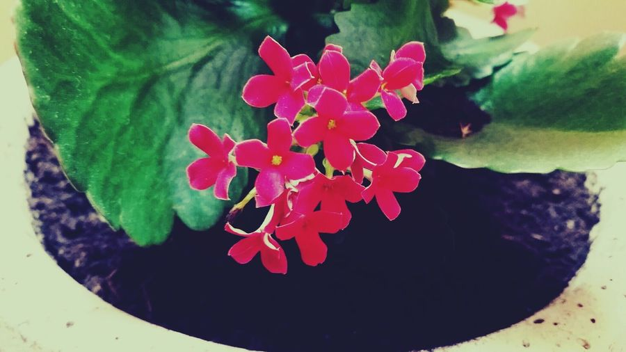 Flowers Pink Plant