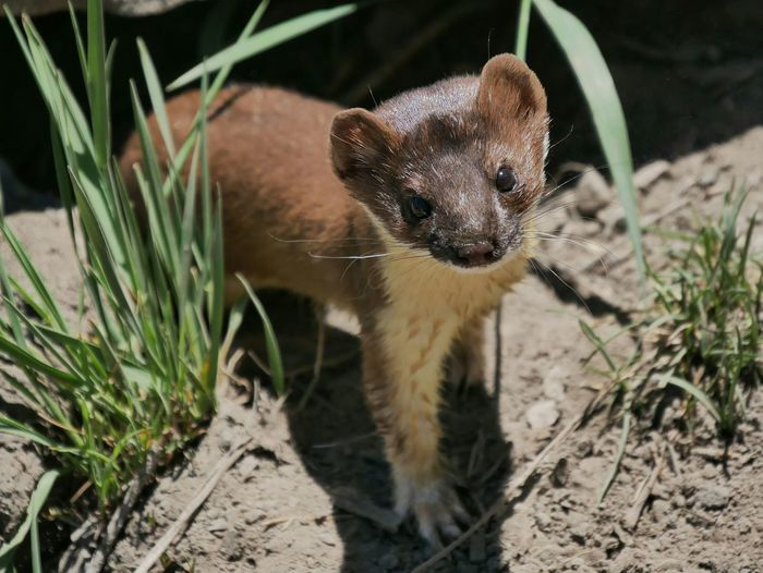 Close-up portrait of a weasel