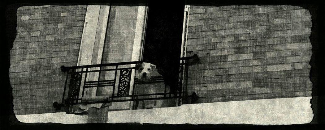 Black Blak And White dog Dog Watching Balcon City