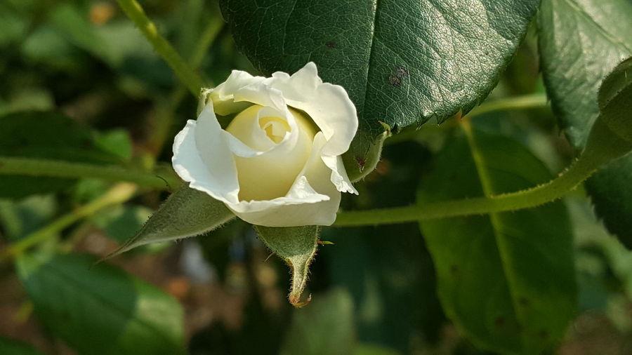 Tiny rosebud