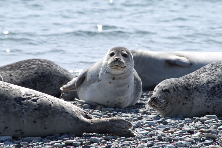 Seals on beach one looking at camera