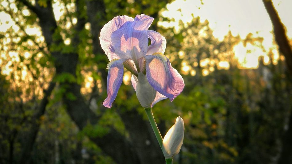 Iris Flower No People Nature Focus On Foreground Close-up Flower Head Pink Color Fragility Plant Springtime Branch Tree Growth Beauty In Nature Day Outdoors Freshness Bokeh Colors Light Low Angle View
