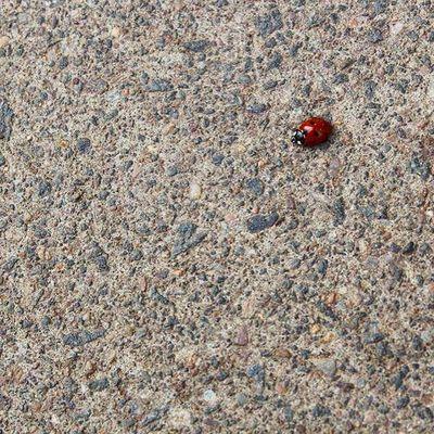 Nature Beautiful Beauty Macro Ladybug Red Pavement Road Floor Insect Bug Ladybird Photooftheday Picoftheday Tiny Little Small Closeup Instagood Instalike Spots Tgif_nature Hidden_igers