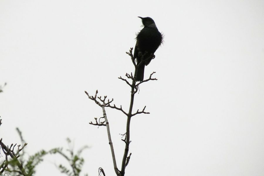 Bird Branch Animal Wildlife One Animal Animals In The Wild PerchingTrees Trees And Sky King Of The Castle Serene Tranquility Animal Themes Outdoors No People Tree Beauty In Nature Sky Tui Native Nz Native Bird Top Nature Treetop High Birds