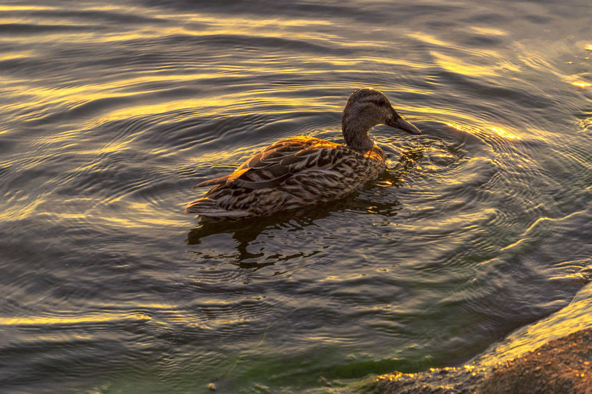 Animal Animal Themes Animal Wildlife Animals In The Wild Bird Duck High Angle View Nature No People One Animal Outdoors Poultry Swimming Water