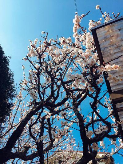 Sakura😊🌸 Taking Photos Sakura March Beautiful Flowers