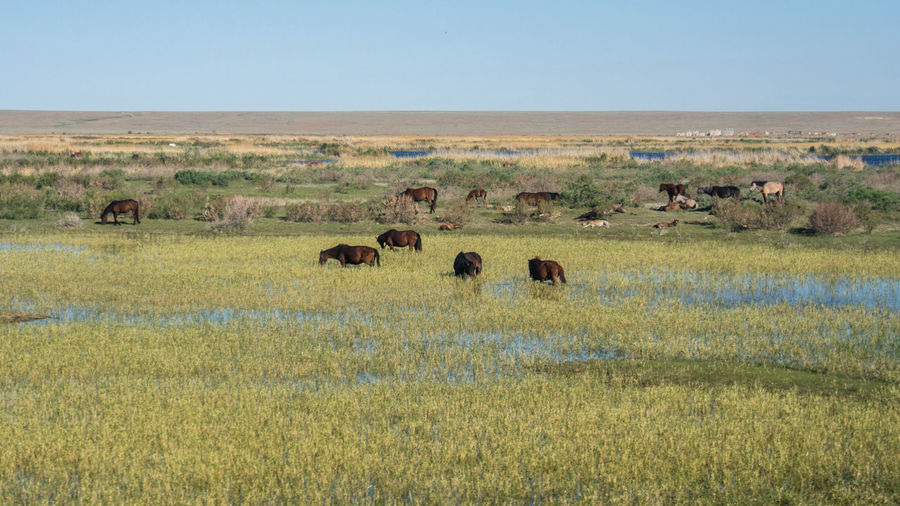 Horses in a shallow lake in the Kazakhstan steppe near Aralsk Horses Animals In The Wild Grass Lake Landscape Large Group Of Animals Scenics - Nature Steppe