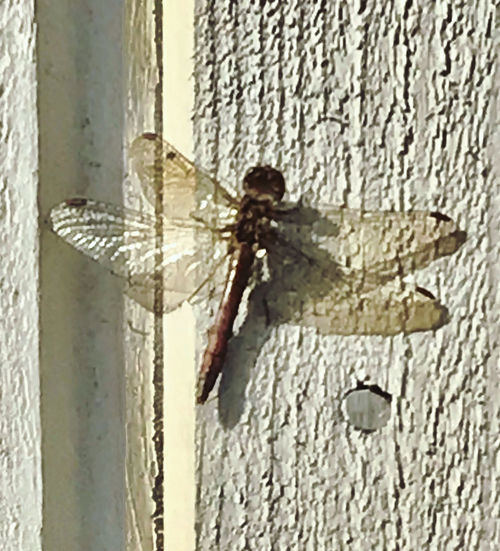 Close-up of dragonfly on wall