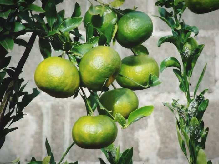 Plant Fruit Mexerica Citric Green Fruit