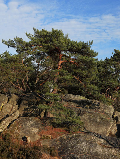 Image of a Scots Pine (Pinus sylvestris) in the Gorges of Franchard in the forest of Fontainebleau in the early spring.This French forest is a national natural park wellknown for its boulders with various sahpes and dimensions. It is the biggest and most developed bouldering (a specific style of rock climbing) area in the world. Plant Tree Growth Nature Rock Beauty In Nature Rock - Object Forest Tranquil Scene Scenics - Nature Outdoors Pinus Sylvestris Scots Pine Gorges Of Franchard Fontainebleau Forest Fontainebleau Nature Nature_collection Background Scenics