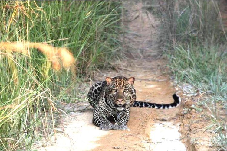 Panthera  Animals In The Wild Leopard Animal Themes One Animal Animal Wildlife Nature Feline