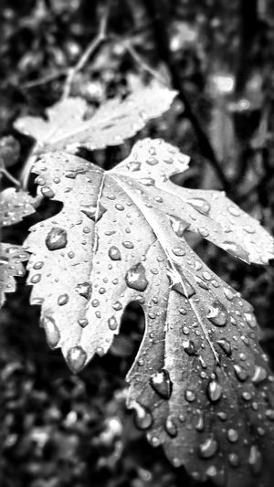 Black And White After The Rain Water Droplets Up Close