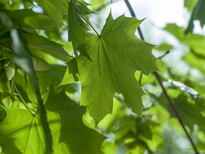 Green maple leaf Sun Leaves Tree Leaf Branch Close-up Plant Green Color Photosynthesis Farmland Agricultural Field Relaxed Moments Beautiful Maple Leaf