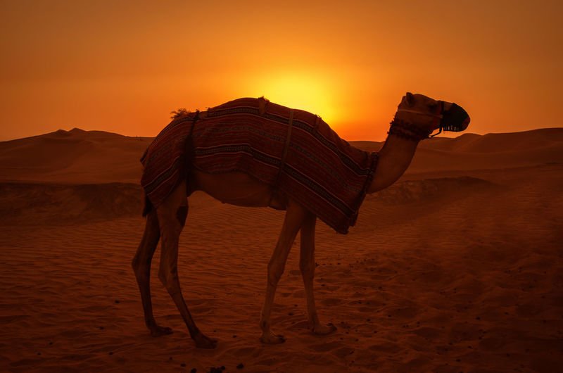 Side view of camel standing in desert