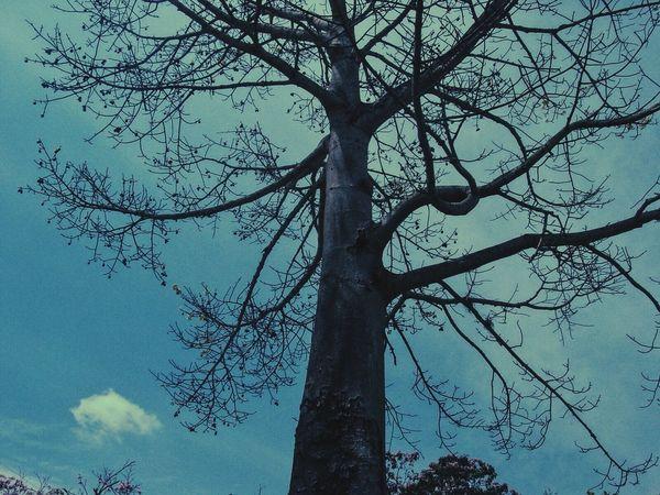 Bare Tree Branch Ceiba Ceiba Tree Low Angle View Nature Silhouette Sky Tree