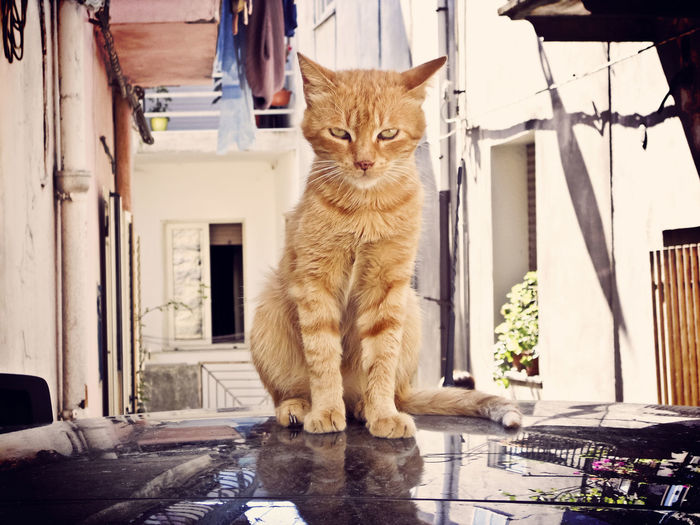Portrait of cat sitting on car bonnet against building