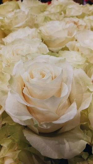 Full frame shot of rose