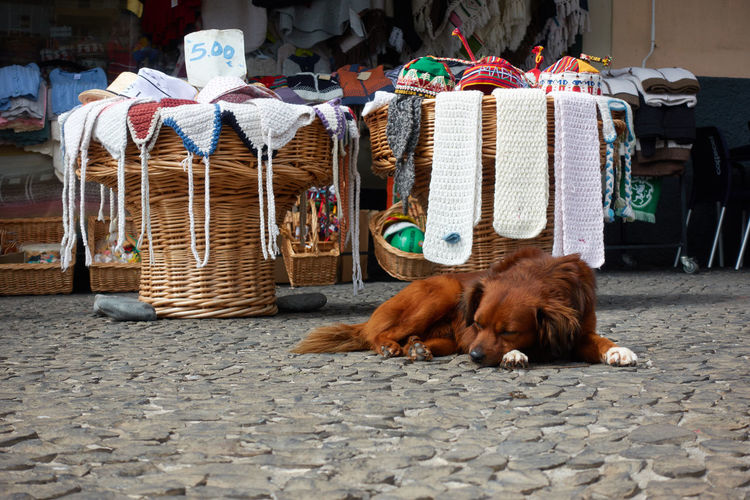 Dog sleeping on a street near a shop in Madeira Camera De Lobos Madeira Portugal Portuguese Shopping Shops Travel Abandoned Animal Basket Canine City Clothing Dog Domestic Animals Fair Island Local Market Market Pets Rest Sleep Sleeping Street Urban