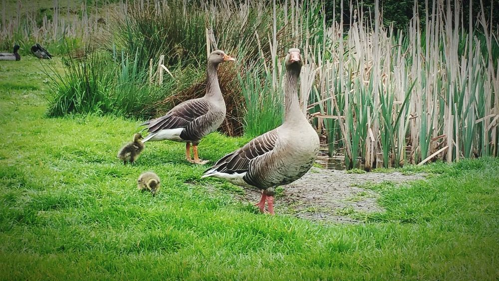 Geese Goose Chick