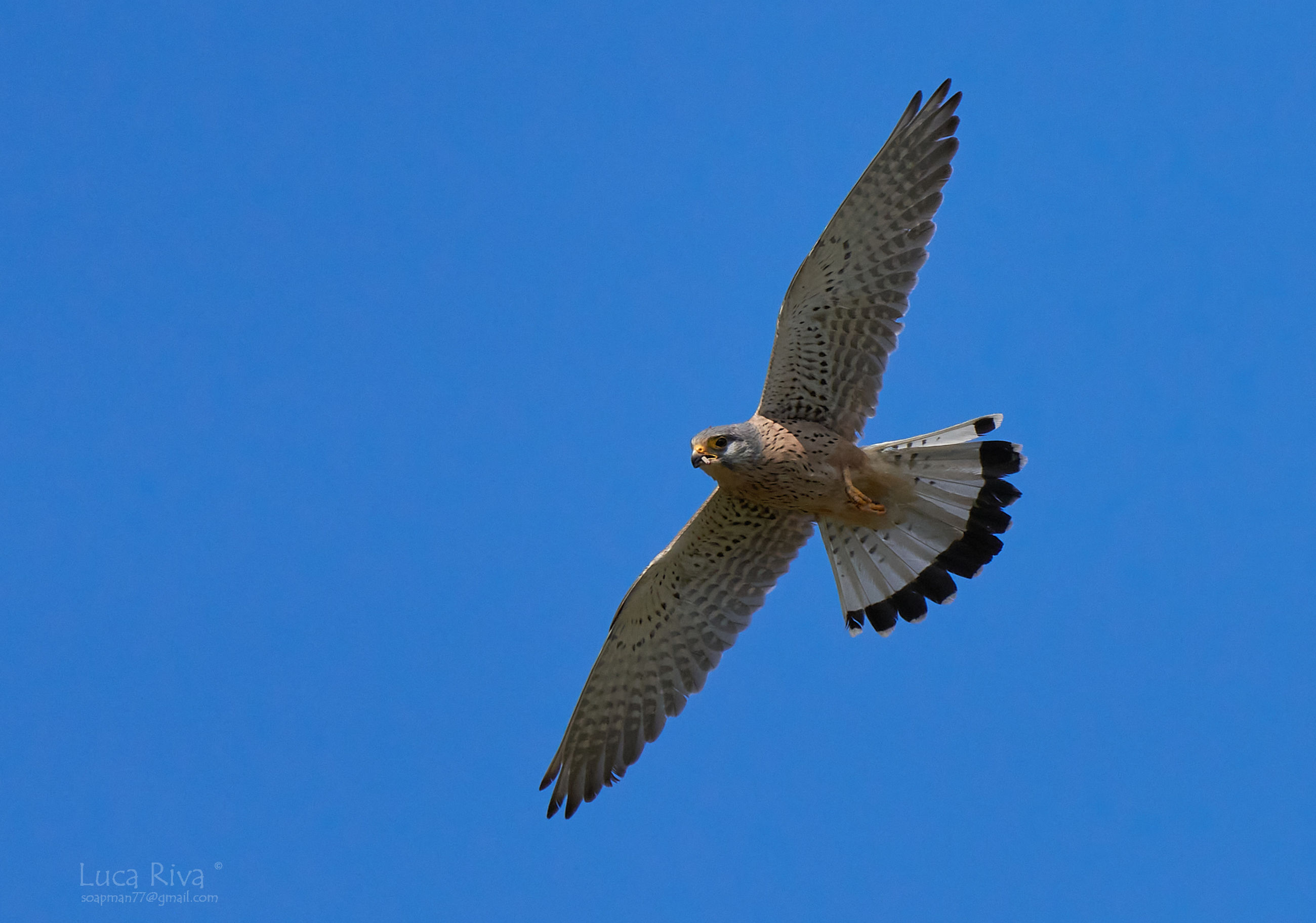 bird, flying, animal themes, animal, animal wildlife, wildlife, one animal, spread wings, bird of prey, blue, sky, falcon, clear sky, animal body part, nature, no people, mid-air, wing, eagle, buzzard, hawk, low angle view, animal wing, day, motion, outdoors, beak, sunny, beauty in nature, copy space, falcon - bird