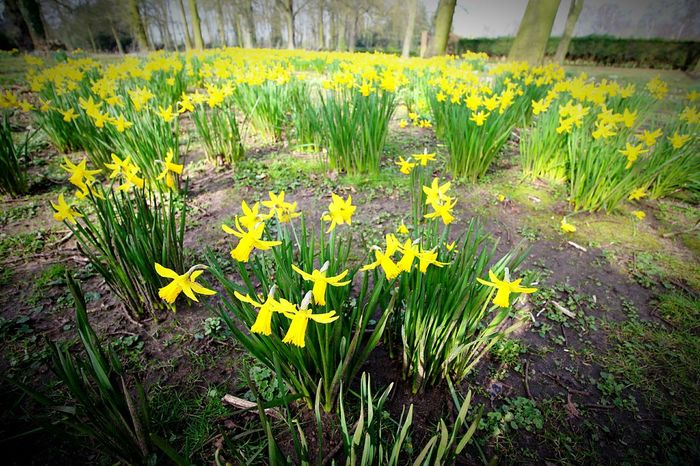 Yellow Yellow Flowers Daffodils Spring Flowers Spring Nature Normanby Hall Scunthorpe