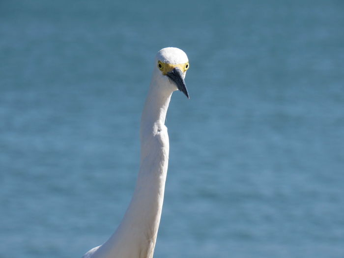Snowy Egret Blurred Background Feathers Of A Bird Long Neck  Ocean View Selective Focus Watching White And Black Yellow Eyes