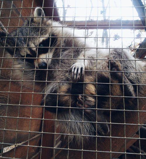 Raccoon Raccoon Lover Anamals First Eyeem Photo