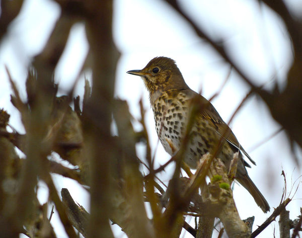 Song Thrush, turdus philomelos Song Thrush Animal Themes Animal Wildlife Animals In The Wild Bird Branch Close-up Day Nature No People One Animal Outdoors Perching Robin Thrush Tree Turdus Philomelos